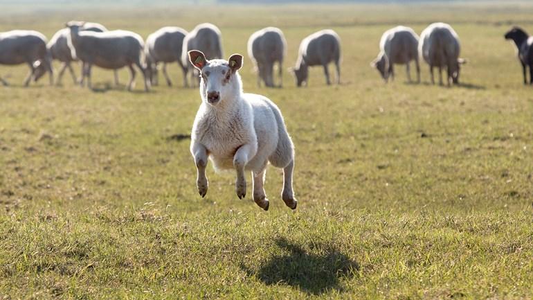 Met-de-50-000-euro-kunnen-schapenhouders-preventieve-maatregelen-treffen-om-hun-dieren-te-beschermen-Rechten-ANP-Arie-Kievit